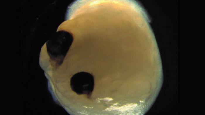 Создан мини-мозг с реагирующими глазами