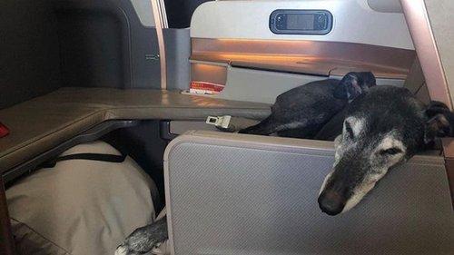 Собака облетела полмира в бизнес-классе самолета (фото)