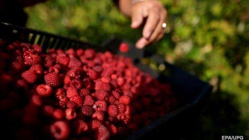 Украина - в семерке мировых экспортеров малины
