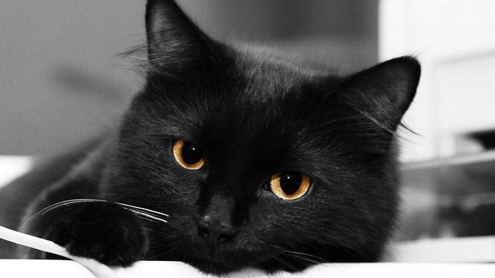 8 интересных фактов о черных кошках